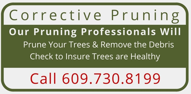Corrective Pruning Mercer & Hunterdon Counties in NJ and Bucks County in PA